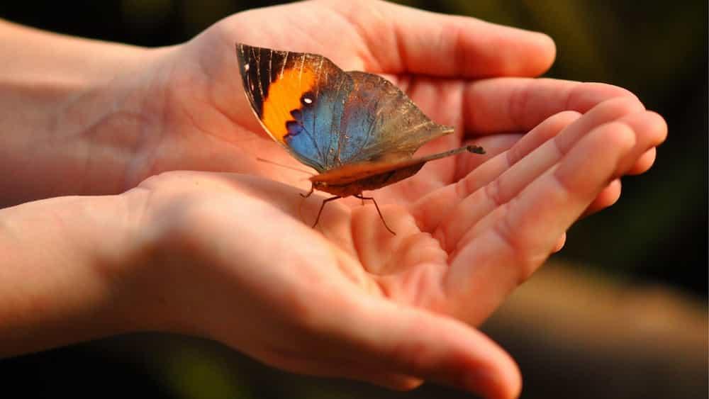 Mans sostenint una papallona